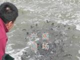 批发天津市放生鱼苗、观赏鱼、3到5厘米夏花鱼苗