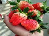 秦皇岛草莓苗批发价格 现款结算 信誉好