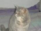 纯种加菲猫 异国短毛猫 蓝乳 加菲猫 MM 母猫 宠物猫