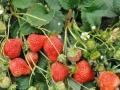 安宁渠老贾草莓熟了。欢迎来采摘