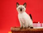 广州暹罗猫家养