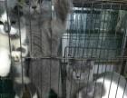 英国短毛猫纯蓝蓝白公猫