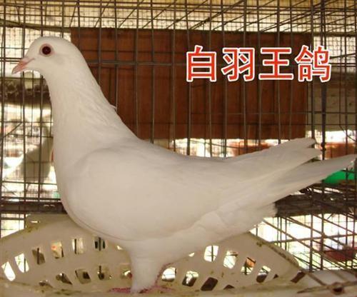 肉鸽种鸽观赏鸽出售