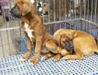 中国专业繁殖双血统大丹犬犬舍 可以上门挑选