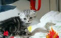 健康纯种折耳幼猫,猫舍繁殖,,品质保障