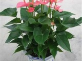 上海綠植盆栽辦公室花卉植物租賃植物租擺養護開業喬遷鮮花花籃