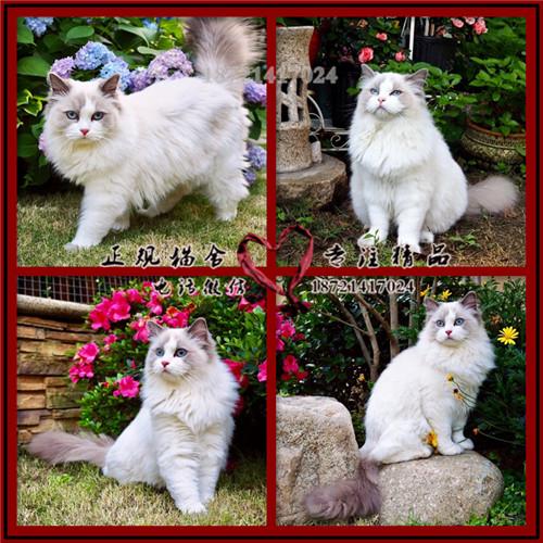 布偶猫山猫布偶纯种宠物猫咪繁育首选蓝眼带CFA证书