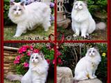 布偶猫种公转让会配种蓝山猫双色弟出售带CFA证书