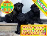 基地养殖纯种拉布拉多犬品质健康可当场做检查签定协议