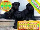 基地养殖纯种拉布拉多犬品质股票 可当场做检查签定协议