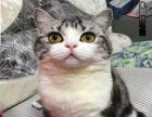 出售高品质美短美国短毛猫/精品花纹公母都有3200