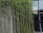哪里卖竹子 绿化用的竹子苗哪里买