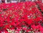 乌鲁木齐南山有大量大棚种植的宿根类和草花类出售