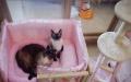 自家养的暹罗猫生小猫咪了