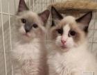 蓝猫猫咪蓝白宠物猫短毛猫英短活体各种猫立耳低价出售