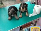 精品纯种雪纳瑞,优选培育强健幼犬,确保健康