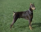 北京精品杜高幼犬、高端赛级大骨量双血、包活、带证书