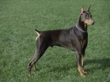 杜高幼犬、高端赛级大骨量双血、包活、带证书