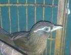 玩赏鸟价格1300
