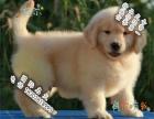 哪里可以买到健康的金毛犬可以签协议的那种