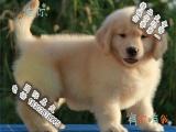 品相好一点的金毛犬哪里有卖的 多少钱