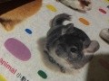 仓鼠兔子宠物垫料除臭天然原木木屑桦木碎