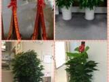 阳江江城办公室绿植出售绿植租摆全城送货上门