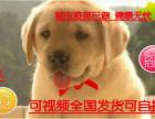 热销中出售纯种拉布拉多幼犬 神犬小七拉多