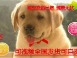 火热直销神犬小七拉布拉多 保纯种健康 基地直销