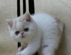 五六十只加菲猫幼猫北京最大的加菲猫繁育基地批发零售