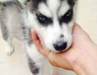 经典三把火双蓝眼 堪称最帅名犬 高品质哈士奇幼犬待售