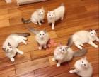 深圳哪里有卖布偶猫的较便宜多少钱一只
