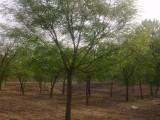 大同50公分国槐树基地基地长年出售