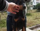 警卫犬杜宾犬 高贵品质杜宾幼犬 杜宾健康有保障