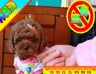 优惠中狗狗用品任意选纯种泰迪熊犬出售签合同