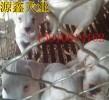 杜高犬的饲养选种和价格