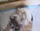 湖南本地家庭式繁育英短小猫接受预定