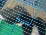 松鼠养殖场常年批发零售魔王松鼠金花松鼠保证低价