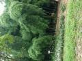 松滋市木天河粮站上坡即到 老房,山林 13亩平米