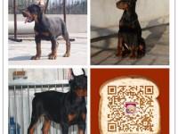 纯种杜宾犬价格 杭州哪里卖杜宾犬 多少钱