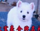 出售西高地猎梗犬 纯种精品赛级带证书 正规基地专业养殖 质保