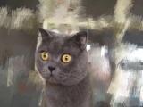 自家繁殖英短蓝猫找新家啦