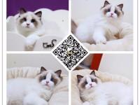 全国连锁--到店挑选--布偶猫/海双蓝双--免费送货到家