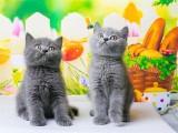 平和纯种猫咪现货出售本地可上门挑选外地视频挑
