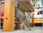 正规猫舍售高品质纯血统 孟加拉豹猫 签署质保 对外借配