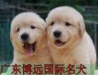 中山哪里有卖金毛犬 纯种金毛幼犬哪里买靠谱 博远国际名犬