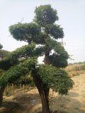 北京通州华源发出售 千年古树 造型 对接白蜡