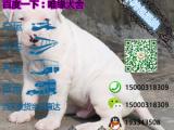 杜高犬多少钱一只/在哪里能买到