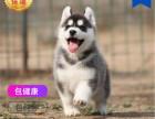 哪里有卖哈士奇犬哈士奇犬多少钱 支持全国发货