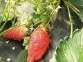 红石崖雷家店子草莓采摘